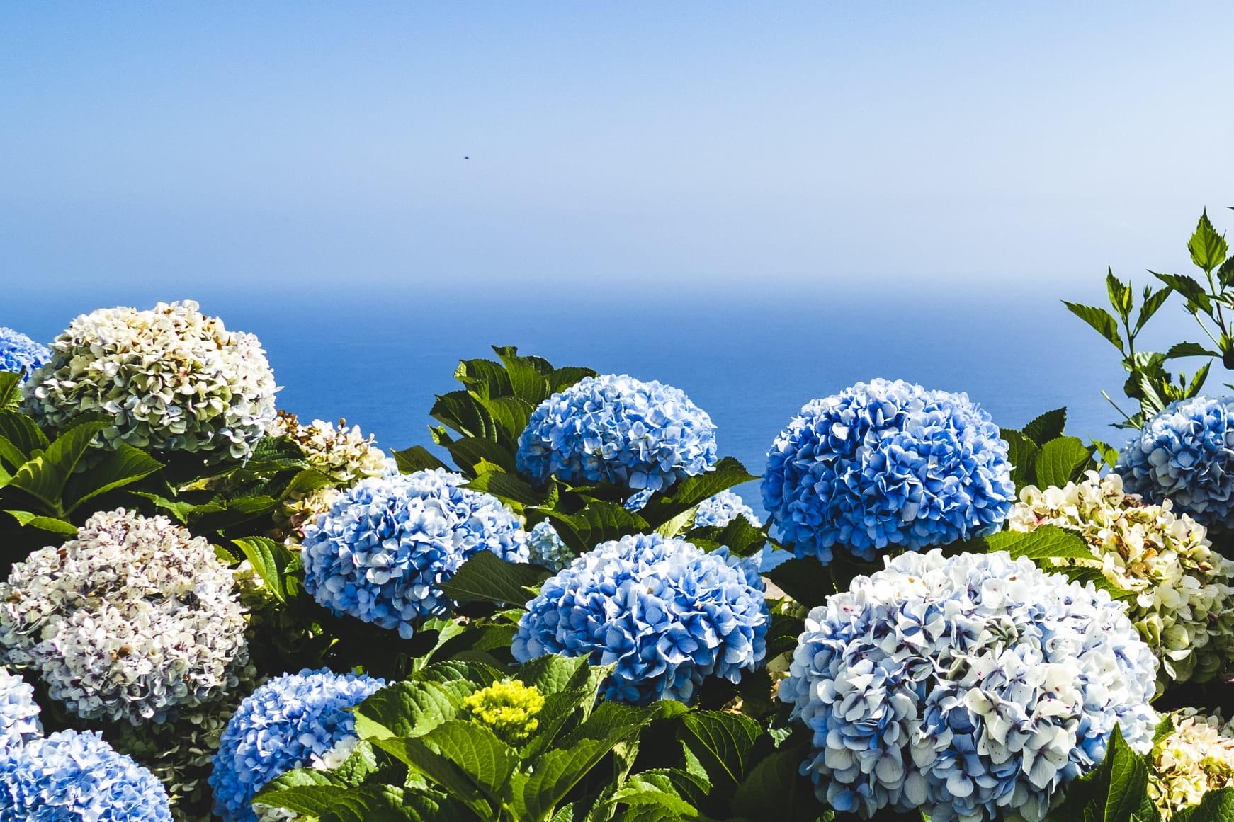 à quel moment doit-on couper les fleurs fanées des hortensias