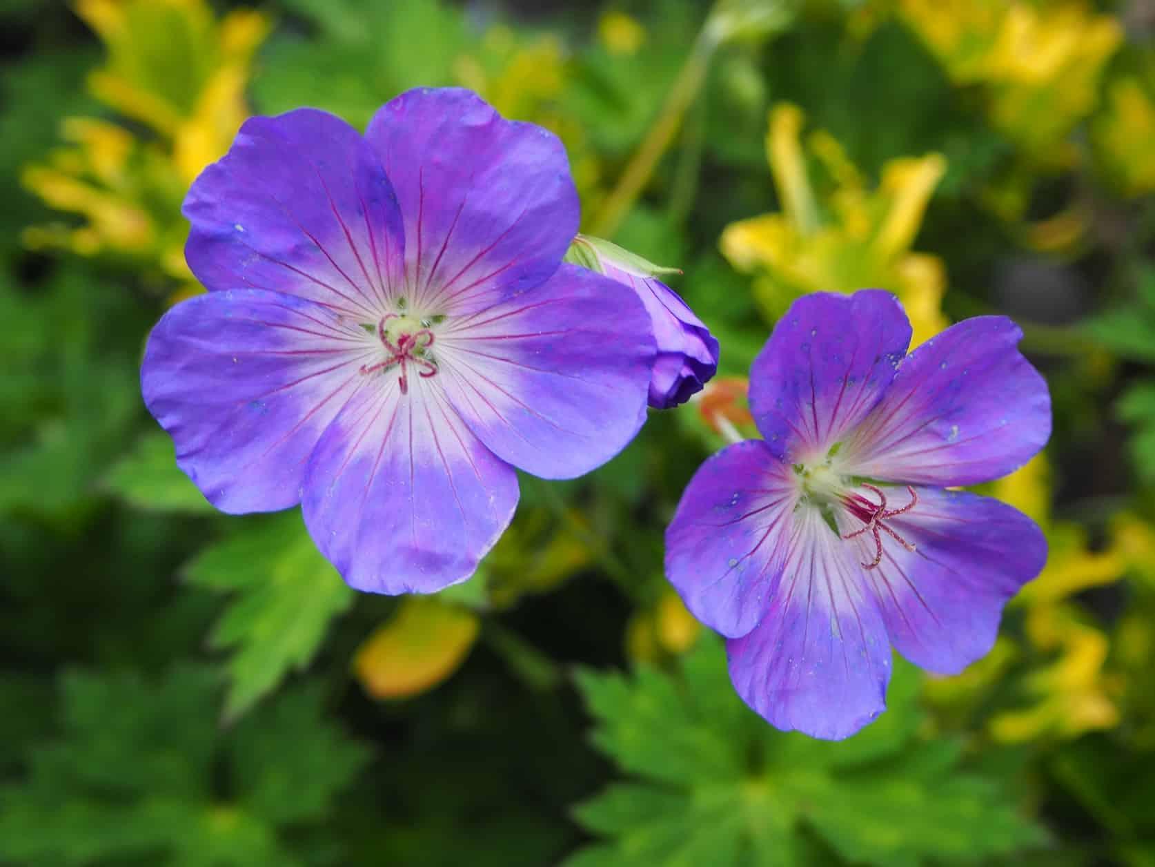 fleurs qui fleurissent toute l'année en extérieur